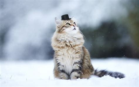 Cat Animal Wallpaper - cat animals nature snow winter depth of field hat