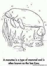 Manatee Coloring Adult Cow Manatees Sea Manati Dementia Animal Grade Alzheimers 3rd Sketchite Para Colouring Template Sheets Drawing Sketch Crafts sketch template