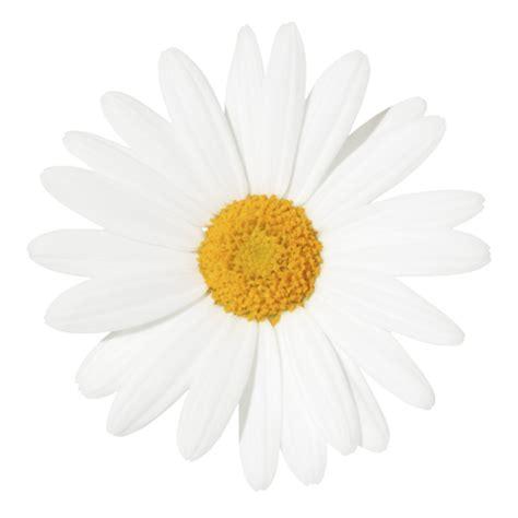 daisy white background images awb
