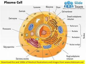 Plasma Cell Immune System Medical Images For Power Point