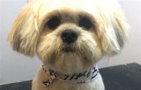 Teddy Bear Haircut For Lhasa Apso