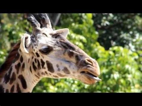 what color are giraffes what color is a giraffes tongue you ll see