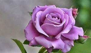 Lavender Rose Pictures – WeNeedFun