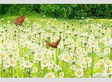 Margarete 55 poze superbe cu flori de margarete