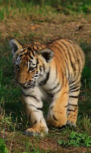 Small Tiger Is Walking Near Stone 4K HD Animals Wallpapers ...