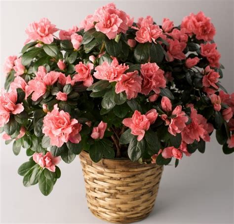 tips  growing indoor azaleas gardening tips