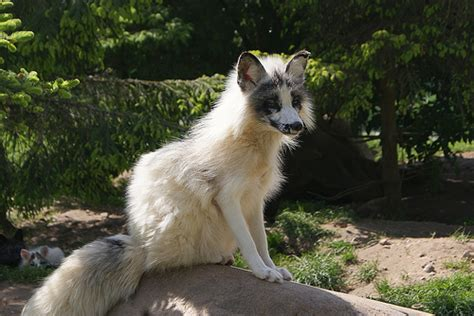 Daydreaming: Marble Fox as a potential pet.