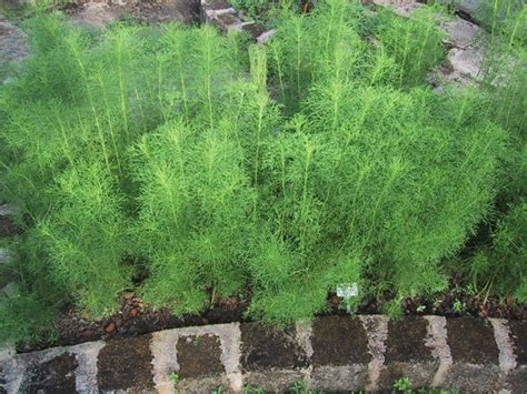 grow dill in pot 12 best herbs to grow indoors indoor herbs balcony garden web