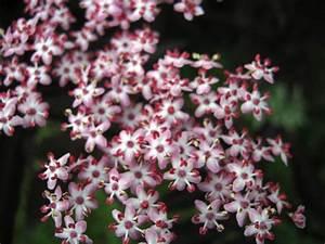 Pflanzen Sonniger Standort : black beauty die dunkle sch nheit im garten pflanzen ~ Lizthompson.info Haus und Dekorationen