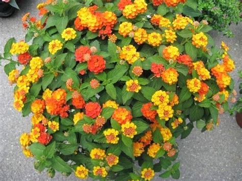piante da fiore perenni resistenti al gelo fiori da balcone pieno sole con 10 fiori e piante da