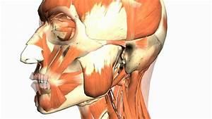 Skull Tutorial  4  - Mandible - Anatomy Tutorial