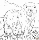 Bear Grizzly Coloring Pages Alaskan Bears Printable sketch template
