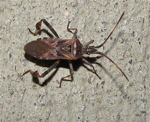 Bug Eric  True Bug Tuesday  Exporting The Western Conifer Seed Bug