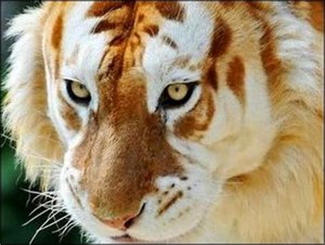 Rare Golden Tiger Strawberry Tabby