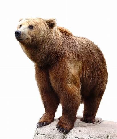 Bear Brown Transparent Background