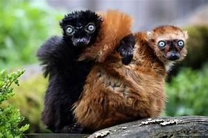 11 incredible facts about lemurs | MNN - Mother Nature Network