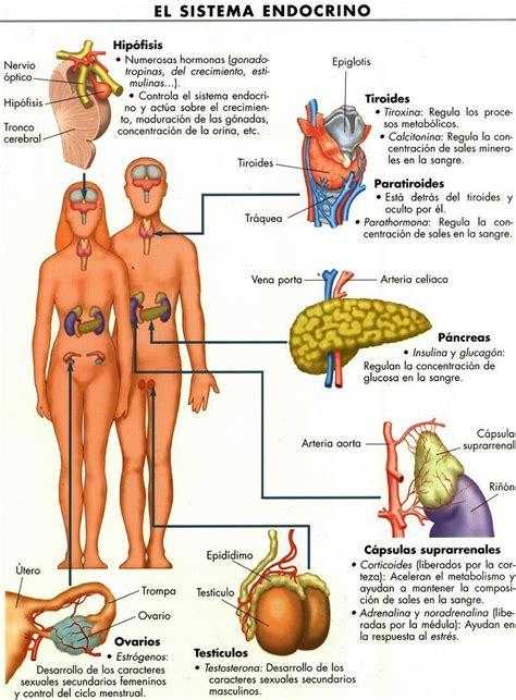 el cuerpo humano sistema respiratorio