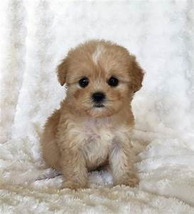 Morkie Puppy For Sale! Hope   iHeartTeacups