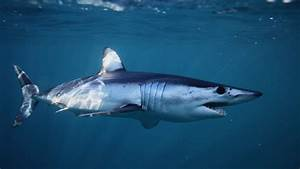Dental Tech Endangered Mako Sharks Remain Vulnerable To Overfishing