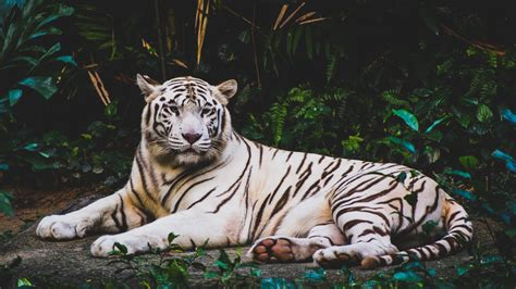 Hd Wallpapers Animals Tigers - wallpaper white tiger hd 5k animals 9520