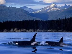 Orca - the killer whale images orcas & wild wallpaper and ...
