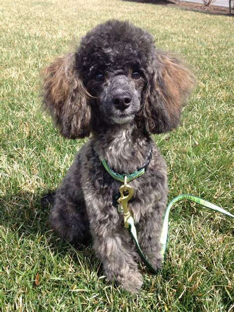 images  brindles  pinterest poodles