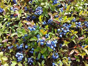 Bonnymans Wild Blueberries
