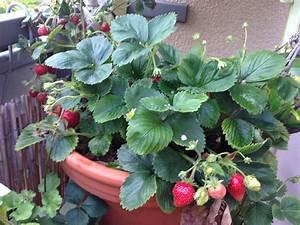 Erdbeeren Pflege Balkon : erdbeeren sch ner balkon ~ Lizthompson.info Haus und Dekorationen