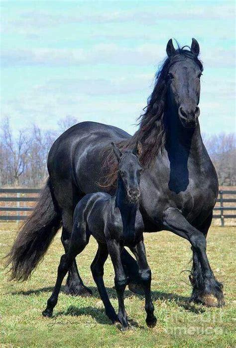 stallion baby horse via horses foal friesian stallions suzanne magnusson born