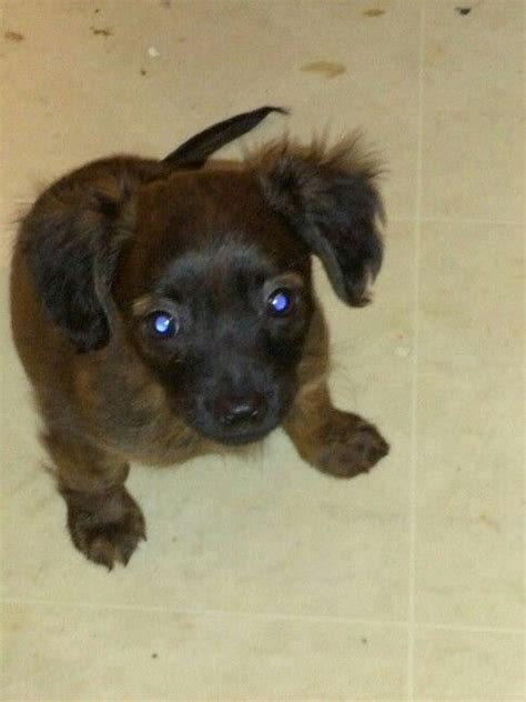 miniature long haired dachshund chihuahua mix named rue