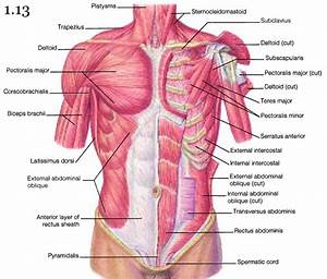 Muscles Of The Chest Shoulder And Upper Limb