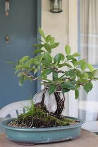Bonsai Ficus Ginseng : ficus bonsai ~ Buech-reservation.com Haus und Dekorationen