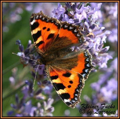 Schmetterlinge Im Garten Hausgartennet