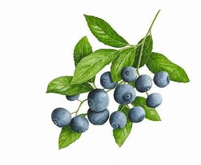 Berry Blueberries Botanische Tekeningen Drawing Botanical Watercolor