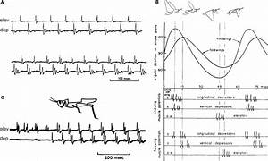 Motor Patterns That Drive Flight In Locusts And Other