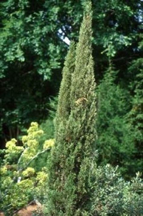 pini da giardino pini da recinzione domande e risposte giardino
