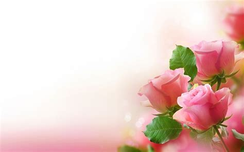 gambar bunga mawar indah sri mulyane