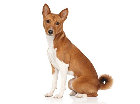 non shedding breeds nz 17 cairn terrier non shedding dogs sealyham terrier