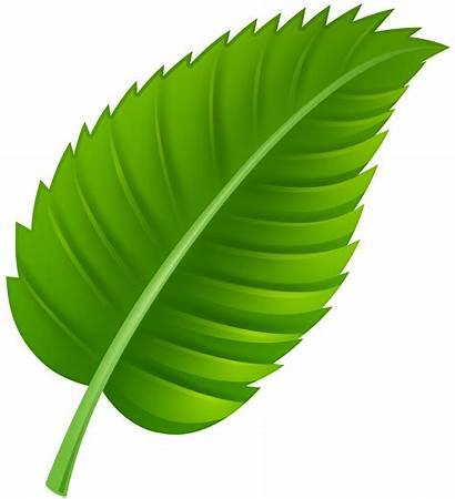 Leaf Leaves Clipart Clip Transparent Clipartpng Web