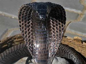 Animals World: black cobra best wallpapers