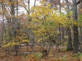 Witch Hazel Tree