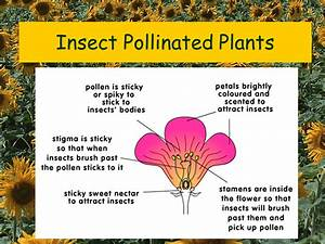 Why Does Insect Pollinated Flowers Have Sticky Pollen