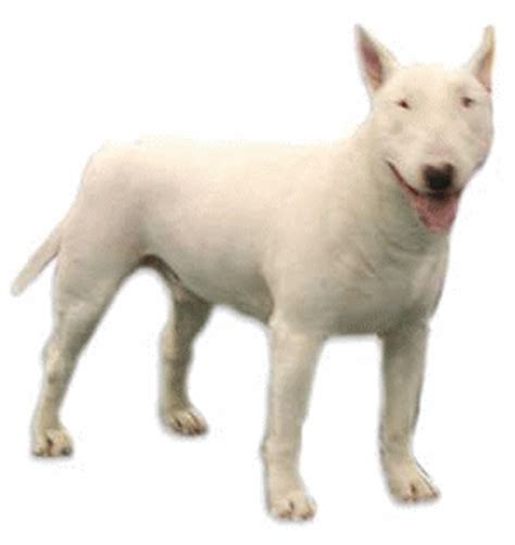 bull terrier graphics  animated gifs