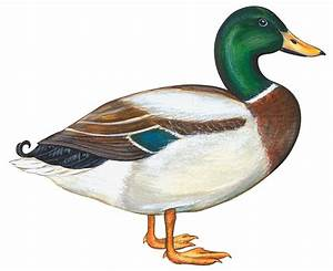 Cartoon Mallard | Free Download Clip Art | Free Clip Art ...