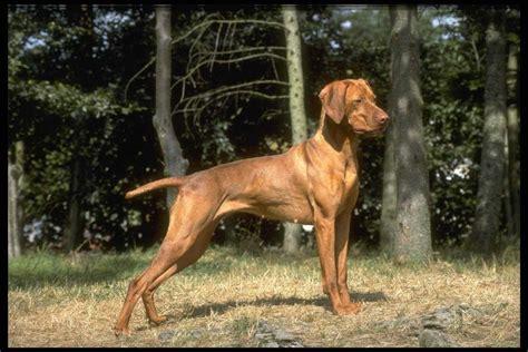 венгерская выжла фото обои собак фото венгерская выжла обои породы собак обои рабочий стол