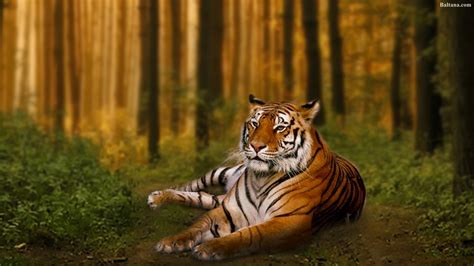 Tiger Animal Wallpaper - tiger hd wallpaper 32001 baltana
