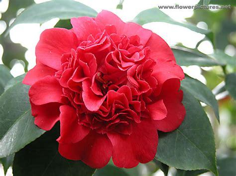 professor sargent camellia camellia