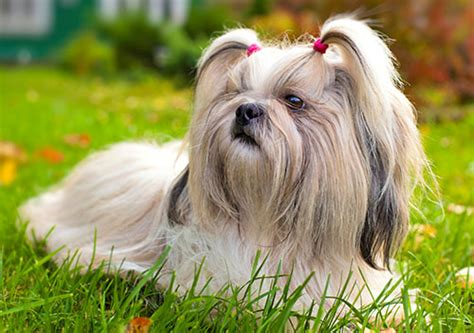shih tzu shedding 18 best hypoallergenic breeds if you allergies