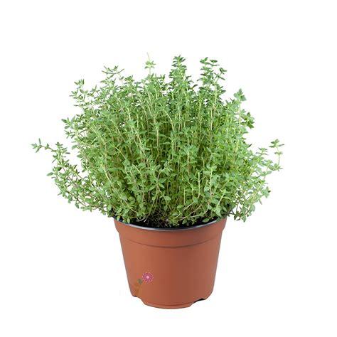 coltivare in vaso come coltivare il timo in vaso o in giardino dailygreen