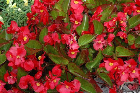 big leaf begonia pictures big red green leaf begonia begonia big red green leaf in oklahoma city edmond norman moore